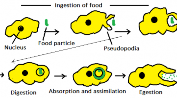 Amoeba takes the food by the process of endocytosis