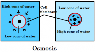 Exchange of water in and out of the cell throgh osmosis
