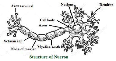 nueron structure
