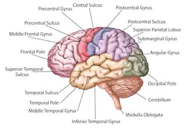 Anatomy of the Humane brain-Class 10 CBSE - Future Study Point