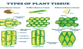 Types of plant tissues : Class 9 CBSE Notes
