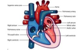 The structure and anatomy of the Heart