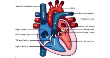 Heart structure
